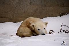 Eisbr Fiete im Zoo Rostock 23.01.2016  05 (Fruehlingsstern) Tags: vienna zoo polarbear vilma eisbr erdmnnchen fiete zoorostock geparden baumknguru canoneos750 tamron16300