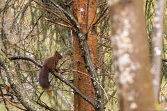 Encore un bel cureuil (Cyril Htz) Tags: france nature alsace mammals mammalia rodentia faune sciurusvulgaris sciuridae ecureuil hautrhin rongeurs mammifres freland ecureuilroux eurasianredsquirrel sciurids