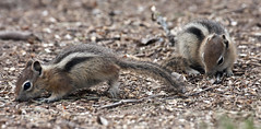 Golden-mantled Ground Squirrels -- Pups (Spermophilus lateralis); Santa Fe National Forest, NM, Thompson Ridge [Lou Feltz] (deserttoad) Tags: mountain newmexico nature animal fauna mammal rodent squirrel behavior groundsquirrel