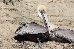 Brown Pelican, La Jolla, California (vtpoly) Tags: california brown beach birds sandiego wildlife lajolla pelican polywoda