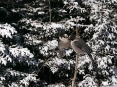 C'est la St-valentin qui approche! (pascaleforest) Tags: wood winter snow bird nature nikon hiver passion neige oiseaux stvalentin bisous fortborale