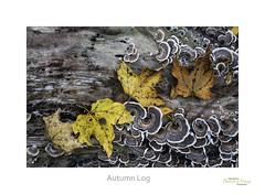 Autumn Log (baldwinm16) Tags: statepark autumn fall nature closeup season illinois log october midwest fallcolor autumnleaves il forestfloor starvedrock turkeytail natureofthingsphotography