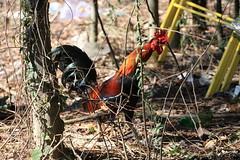 Canon201798 (godrudy6661) Tags: chickens chicken neworleans ninthward wildchicken feralchicken