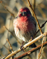 IMG_1941_edited-1 (lbj.birds) Tags: bird nature wildlife finch kansas housefinch flinthills