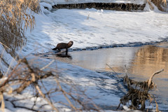 Mink-47655.jpg (Mully410 * Images) Tags: winter snow cold ice water creek mink ricecreekregionalpark ricecreeknorth