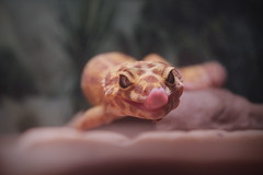 046 / 365 (Tara Gadwell) Tags: tongue reptile lizard leopardgecko 365project 365challenge 365daychallenge 365dayproject