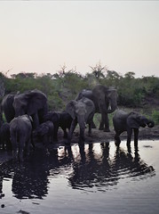 Elephants playing in the water (chillbay) Tags: africa camp southafrica safari elephants waterhole krugernationalpark kruger tandatula krugerafrica