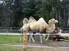 Camel Hollywood safari park Germany 22nd September 2013 22-09-2013 08-38-46 (dennoir) Tags: park germany september safari camel hollywood 22nd 2013 083846 22092013