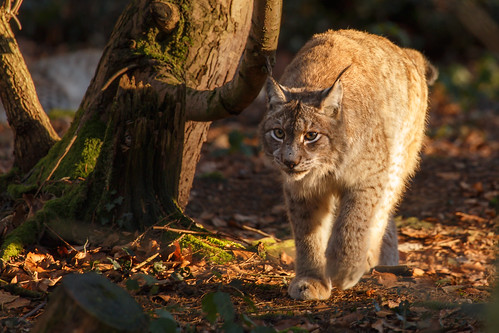 Prowling lynx