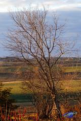 Tree (cj berry) Tags: autumn canada tree fall colors dawn bare alberta leafless wagonwheel lacombe