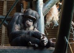 Monkey at Chester zoo (newbiephoto92) Tags: uk zoo monkey nikon chimp chester tamaron d3200
