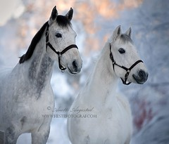 Winter Portrait (Hestefotograf.com) Tags: winter horses horse snow love oslo norway caballo bokeh pony camouflage cavalos ponies forever pferde dappled cavalo pferd whitehorse equine equus paard horseandgirl equinephotography equinephotographer hestefotograf