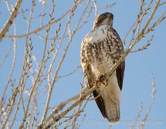 Perched Hawk (eharrisphotos) Tags: fauna colorado hawk
