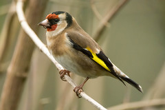 Goldfinch (Shane Jones) Tags: bird nikon goldfinch finch tc14eii 200400vr d7200