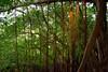 El árbol que camina (Raíces anónimas) Tags: costa arbol atardecer mar colombia pescador caribe pescar pelícano islafuerte arbolquecamina