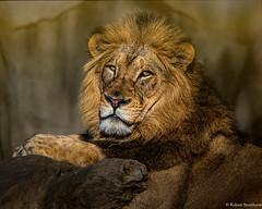 John, the Lion Hearted (Robert Streithorst) Tags: male john lion cincinnatizoo simplysuperb zoosofnorthamerica robertstreithorst