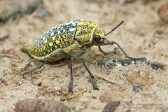 319A5944 Sulphurous jewel beetle, Julodis euphratica, UAE (Priscilla van Andel (Uploading database)) Tags: uae jewelbeetle julodiseuphratica buprestidaefamily sulphurousjewelbeetle matingjewelbeetles coleopteraoftheuae