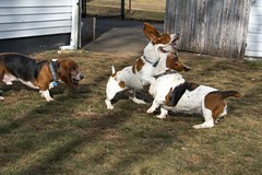 IMG_6120 (BFDfoster_dad) Tags: hound basset