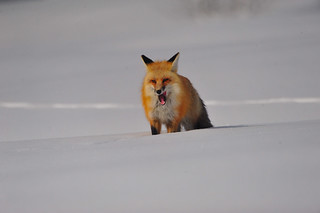 Red Fox 3