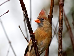The Maiden (Gabriel FW Koch) Tags: bird nature wet rain canon outside eos dof cardinal outdoor wildlife rainy raining songbird femalecardinal seedeater