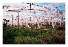 Abandoned greenhouse III (onehundrett.com) Tags: abandoned film nature analog 35mm spain loneliness kodak calm contax human greenhouse silence tenerife g2 analogue melancholy canaries destroyed deserted ektar