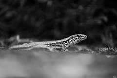 IMG_7494 ( Lettie Photography ) Tags: summer bw nature blackwhite reptile country nb turenne correze corrze limousin noirblanc lzard et turennegare
