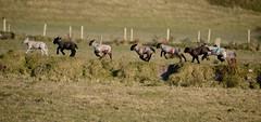 Spring-Lambs (rdspalm) Tags: ireland lambs malinhead realireland doneagl