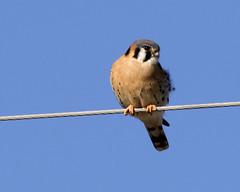 American Kestrel (male) (emace) Tags: nature animal wild bird falcon american kestrel raptor
