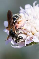 Andrena-hattorfiana-female_2 (skully_bob) Tags: insect mining bee cambridgeshire invertebrate devilsdyke solitarybee miningbee largescabiousminingbee
