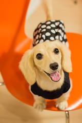IMG_2290 (yukichinoko) Tags: dog dachshund 犬 kinako ダックスフント ダックスフンド きなこ
