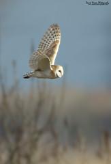 Barn Owl, Tyto alba (Midlands Reptiles & British Wildlife Diaries) Tags: david liverpool canon alba nixon barnowl tyto 600f4 7dmkii