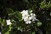 _ITA2496 (Edson Grandisoli. Natureza e mais...) Tags: planta interior flor campo urbana odor araçoiaba murraya murta fragrância arborização regiãosudeste arvoreta