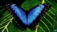 Blue Morpho Butterfly (Morpho peleides) (Montse;-))) Tags: blue nature fauna butterfly flora morpho pap morphopeleides regalito