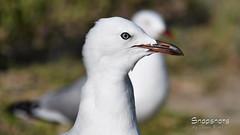 _DSC5340 (dawnbordin) Tags: sea hot bird eye beach up birds close head seagull gulls flight beak chips hungry