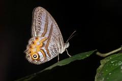 Erites elegans (moloch05) Tags: malaysia taman negara