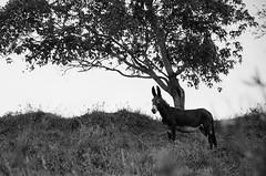 (Jos Mauricio Garijo) Tags: horse rural burro campo asno jumento cavalos fazenda muar mula interiordesopaulo agudossp josmauriciogarijo borebisp2015 estnciaboavista