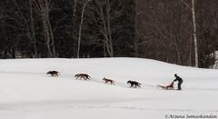 Dog Sledding -7 (digithief) Tags: winter snow ontario dogs nikon d750 sledding dogsledding haliburton