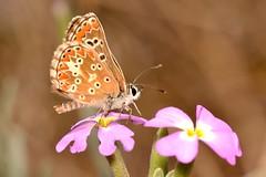 Aricia cramera Eschscholtz, 1821 (Jess Tizn Taracido) Tags: lepidoptera lycaenidae papilionoidea polyommatinae polyommatini ariciacramera
