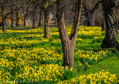 For the Beauty of the Earth (James Neeley) Tags: london daffodils stjamesspark jamesneeley