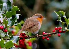 Christmas card? (lou8wil) Tags: christmas red robin berries holly songbird redbreast hollyberries gardenbird britishbird