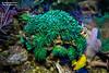 Euphyllia glabrescens (Wolfgang Dibiasi) Tags: poisonous venomous giftig cnidaria glabrescens euphyllia gifttier