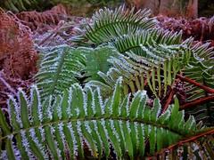 Let it go (Crishots) Tags: fern ice ladysmith iphone