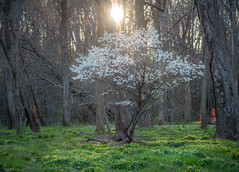 The Early Bloomer (ben.gentile) Tags: flowers trees grass virginia spring nikon blossom branches air fresh serenity d750 28 backlit shire inspire f28 tranquil 2470mm