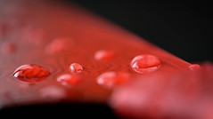 Red Droplets (KWinters Photography) Tags: red color macro water closeup droplets drops nikon flickr knife nikondigital macrophotography d5500 macromonday nikonprofessional cmwd cmwdred macrophotographyunlimited nikondsl