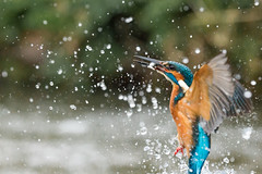 Kingfisher (John Ambler) Tags: fish male rain john river branch photographer wildlife kingfisher perch ambler