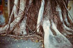 Vintage tree meets vintage camera (akurasai) Tags: camera wild cats film animal animals cat vintage cozy ground ishootfilm land yashica electro35 yashinon analogcamera filmisnotdead believeinfilm