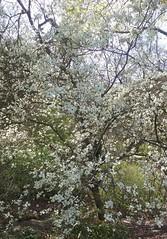 Flowering Dogwood (sftrajan) Tags: primavera berkeley botanicgarden botanicalgarden jardinbotanico springtime jardinbotanique botanischergarten ogrdbotaniczny universityofcaliforniabotanicgarden