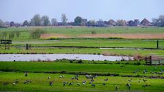 Waterland - the return of the Geese (Boudewijn Vermeulen) Tags: blue green water grass clouds landscape bomen groen blauw skies meadows wolken gras landschap waterland luchten sloten ditches publ