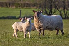 A ewe and her lambs (Alan10eden) Tags: ireland wool field grass canon outdoors spring twins farm farming flock lambs northernireland farmer agriculture fleece livestock 70200 grazing mutton ulster paddock 6d ryegrass ewe crossbred ovine markethill countyarmagh f28is alanhopps