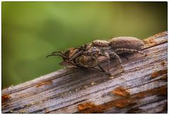 impitoyable nature (Paloudan) Tags: spider araigne arachnide salticidae saltique